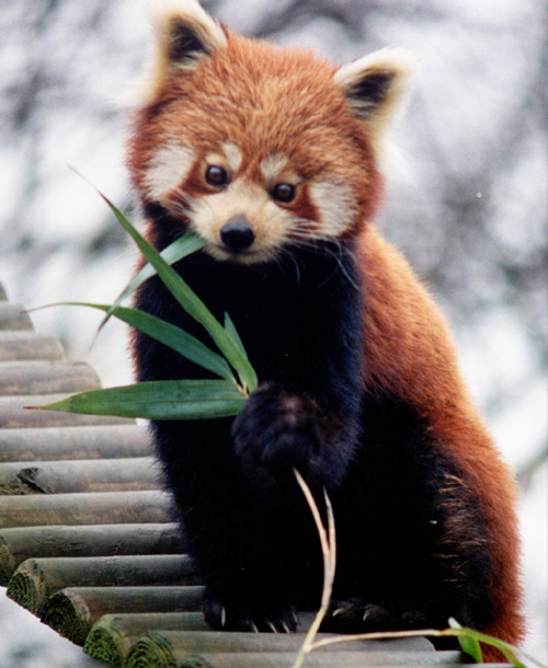 A PHOTO OF RED PANDA